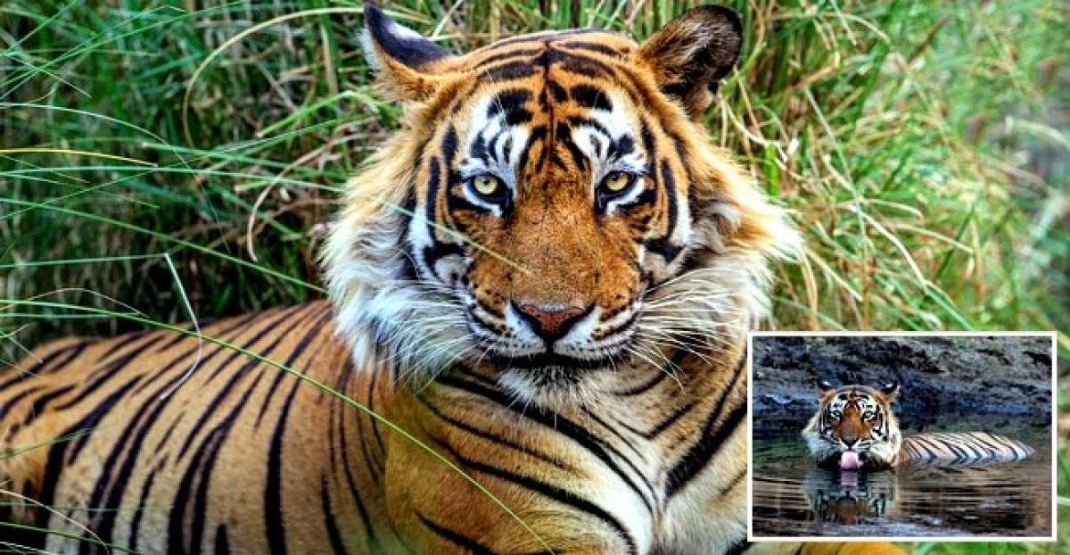 Ustad, the mighty man eater of Ranthambore languishes in captivity