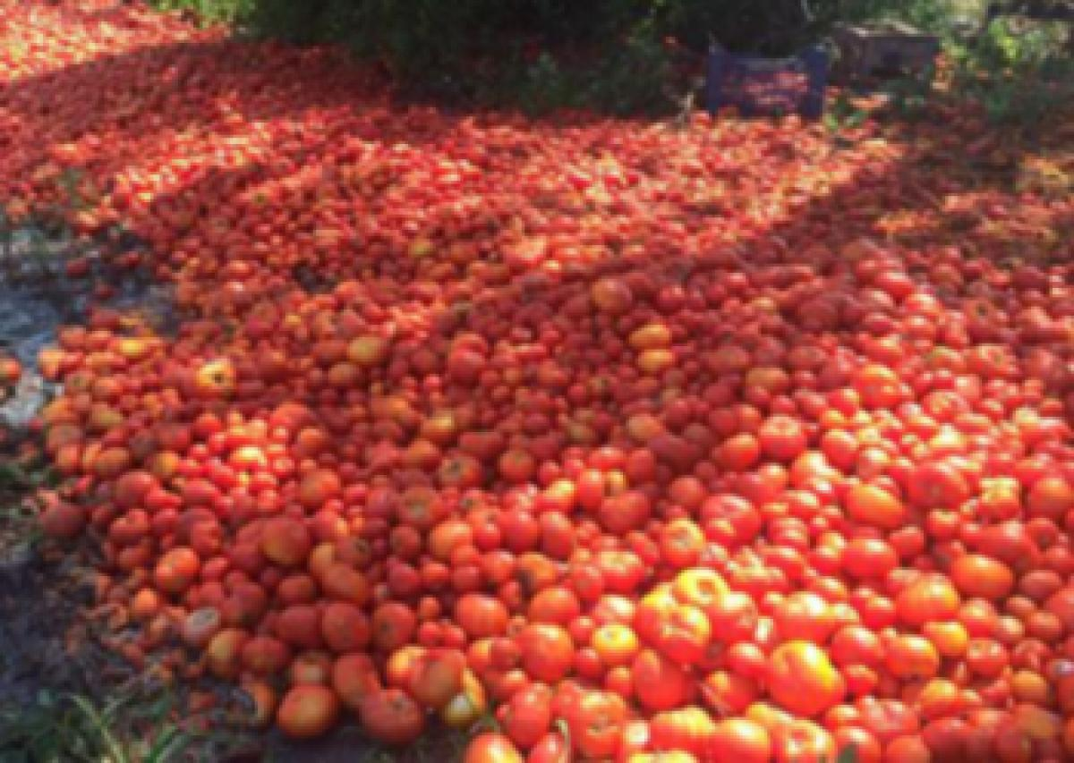 Farmers dump tomatoes as prices plunge