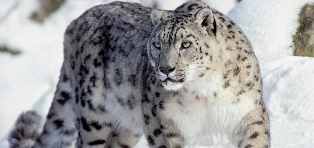 Endangered Snow Leopard spotted for the first time in Kumaon Himalayas
