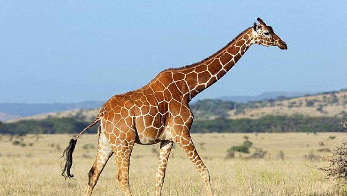 Secret of giraffes long neck revealed