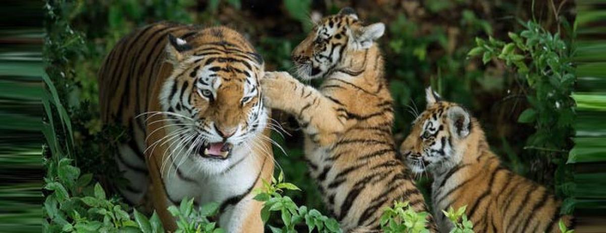 Save Tiger initiative worked? Cat numbers up for first time in century