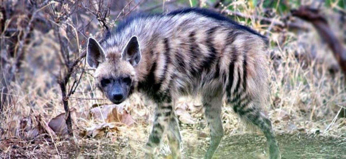Striped Hyena killed in Gujarat forest range