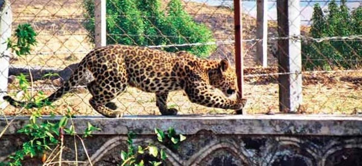 Leopard seen at Nepals international airport; operations halted