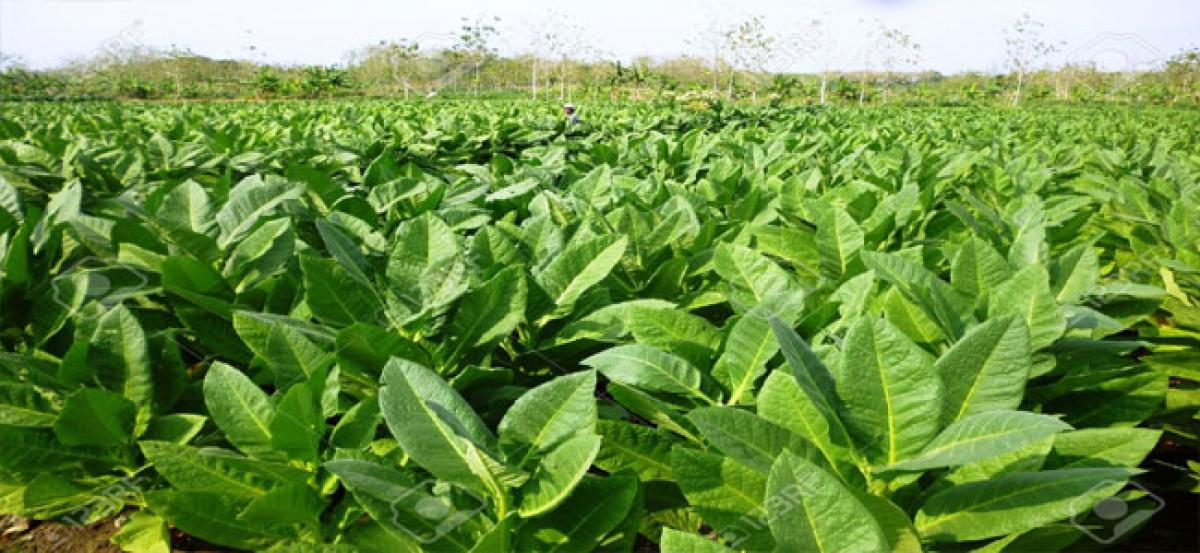 Tobacco fetches maximum average price ever in East Godavari