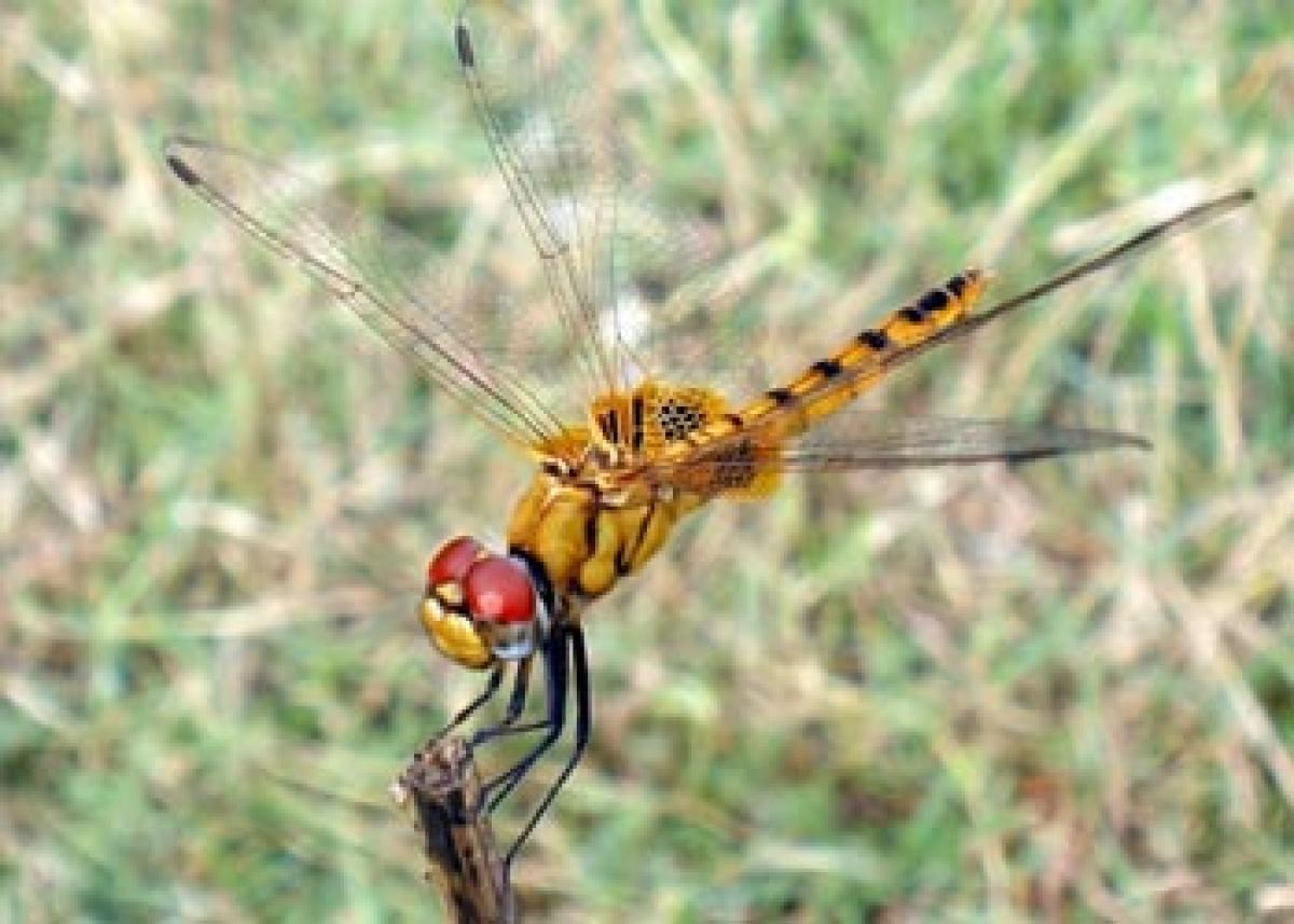 Worlds longest distance flier may be a tiny dragonfly