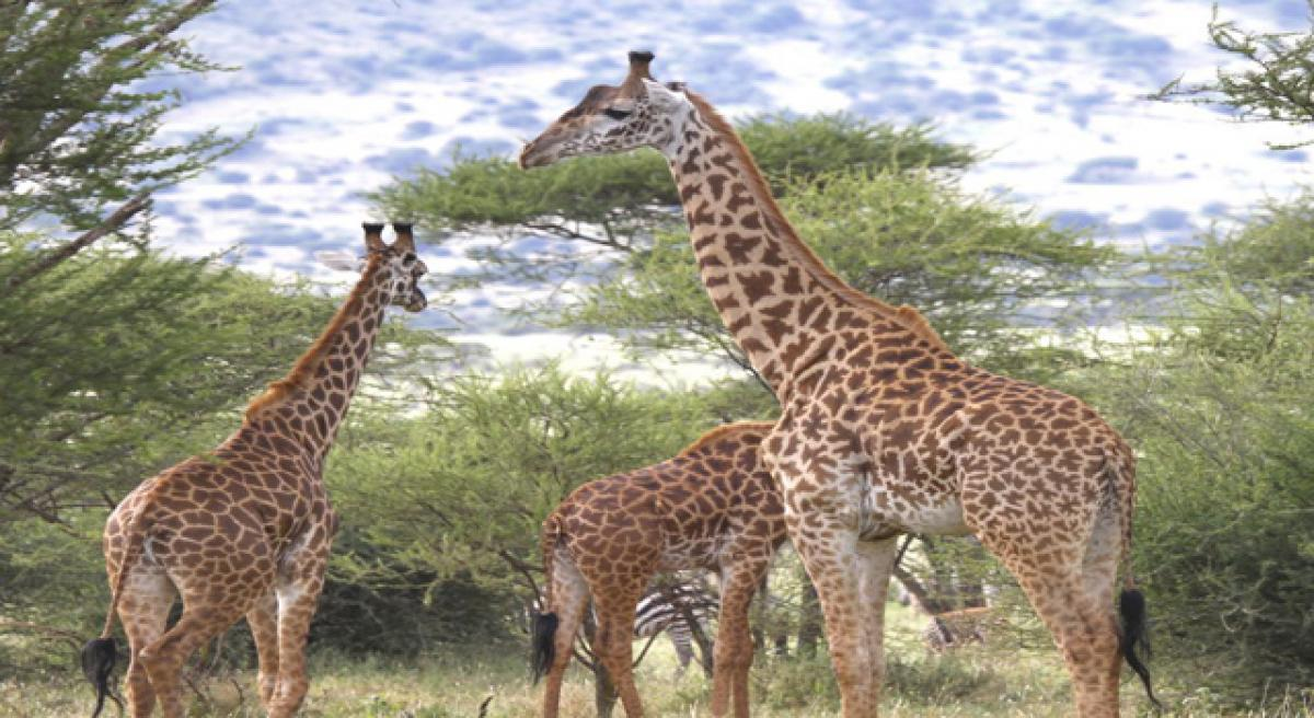 DNA analysis reveals four species of giraffe, not just one