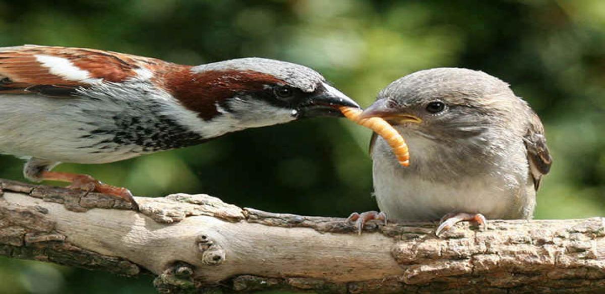 Vanishing house sparrows spark concern