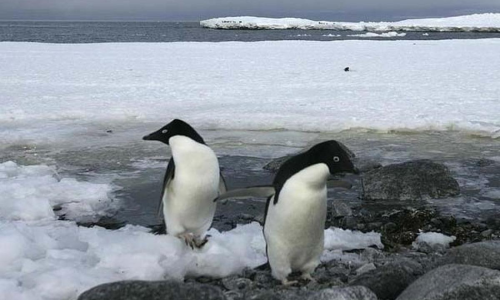 Ancient Poo Shows Antarctic Penguins Volcanic Past