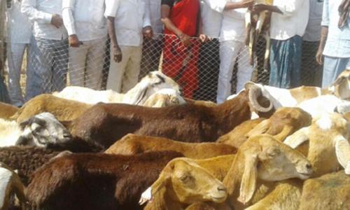 84 units of subsidised sheep distributed