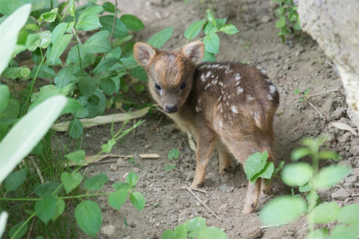Queens Zoo in New York welcomes worlds smallest deer species