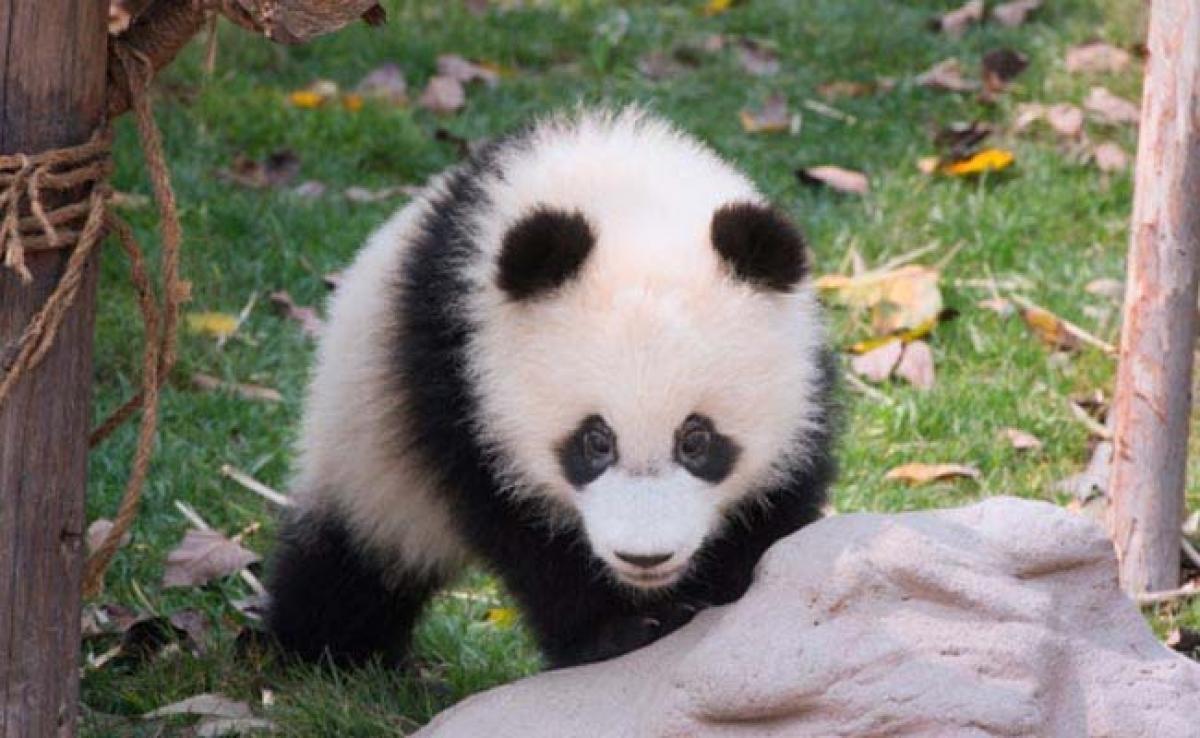 Panda Cub Born At Washingtons National Zoo