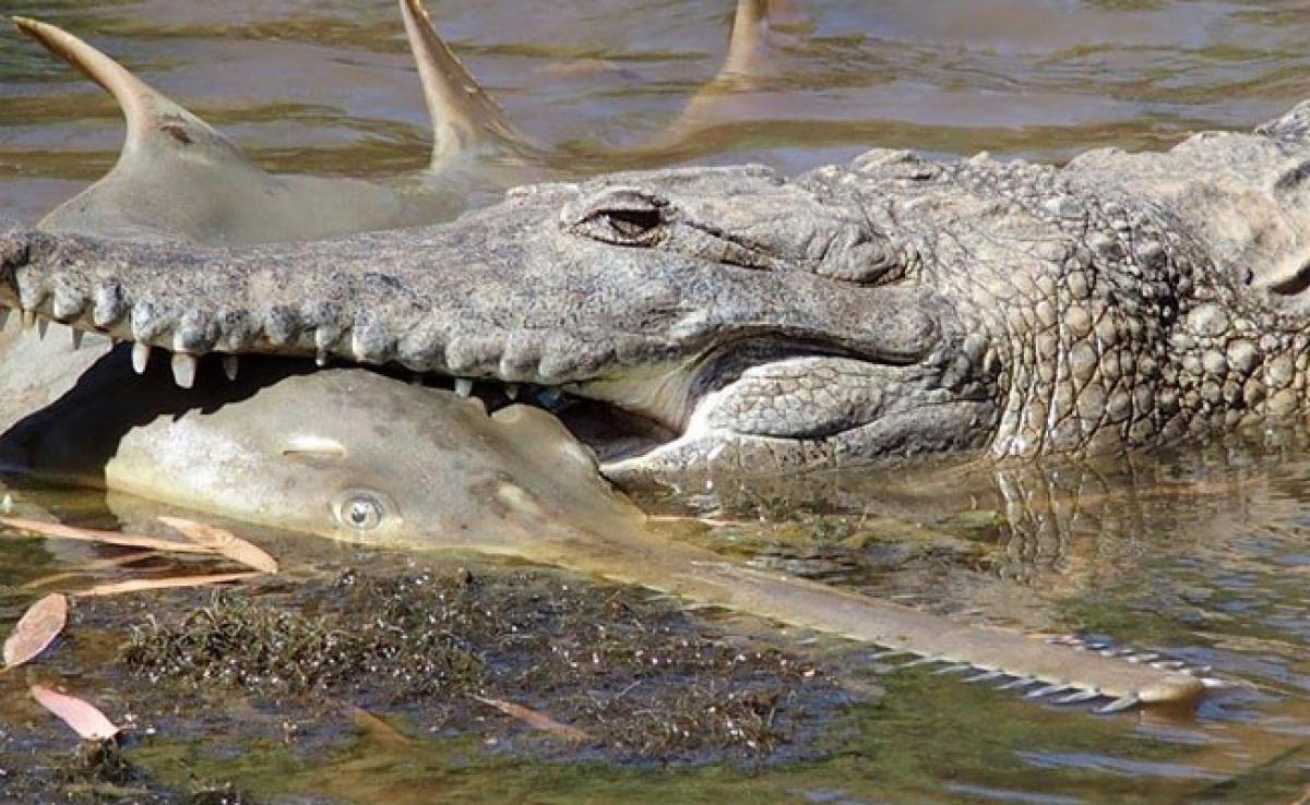 Endangered Sawfish No Match For Australian Crocodile
