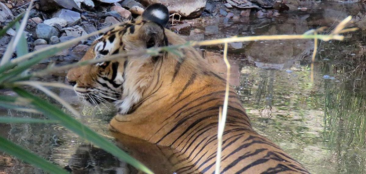 Madhumalai students back to school after tiger fears