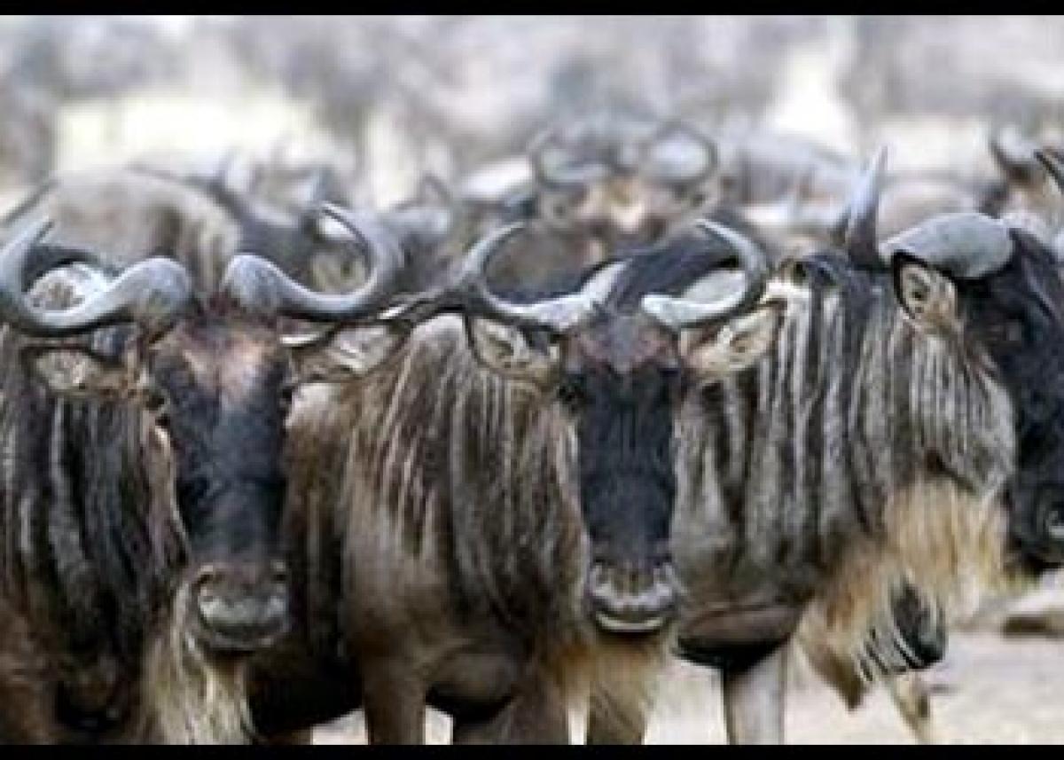 This wildebeest-type animal and dinosaur had similarities