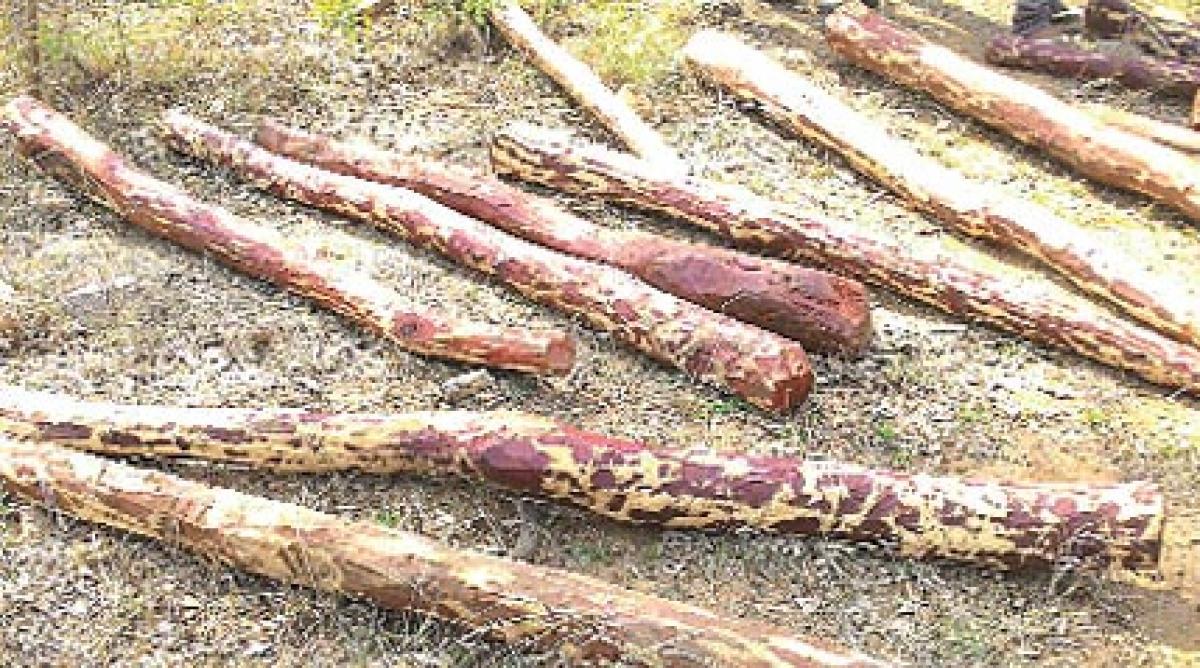 28 red sanders logs seized; 2 held