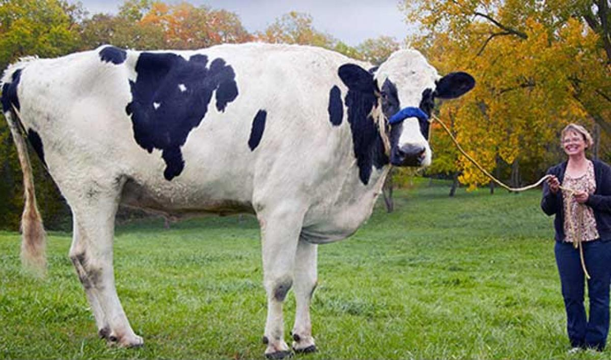 Worlds Tallest Cow Dead After Succumbing to Leg Injury