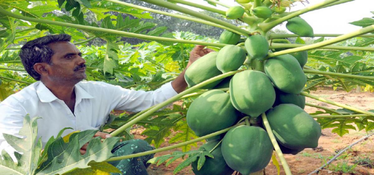 Preference for Papaya proving to be a money-spinner