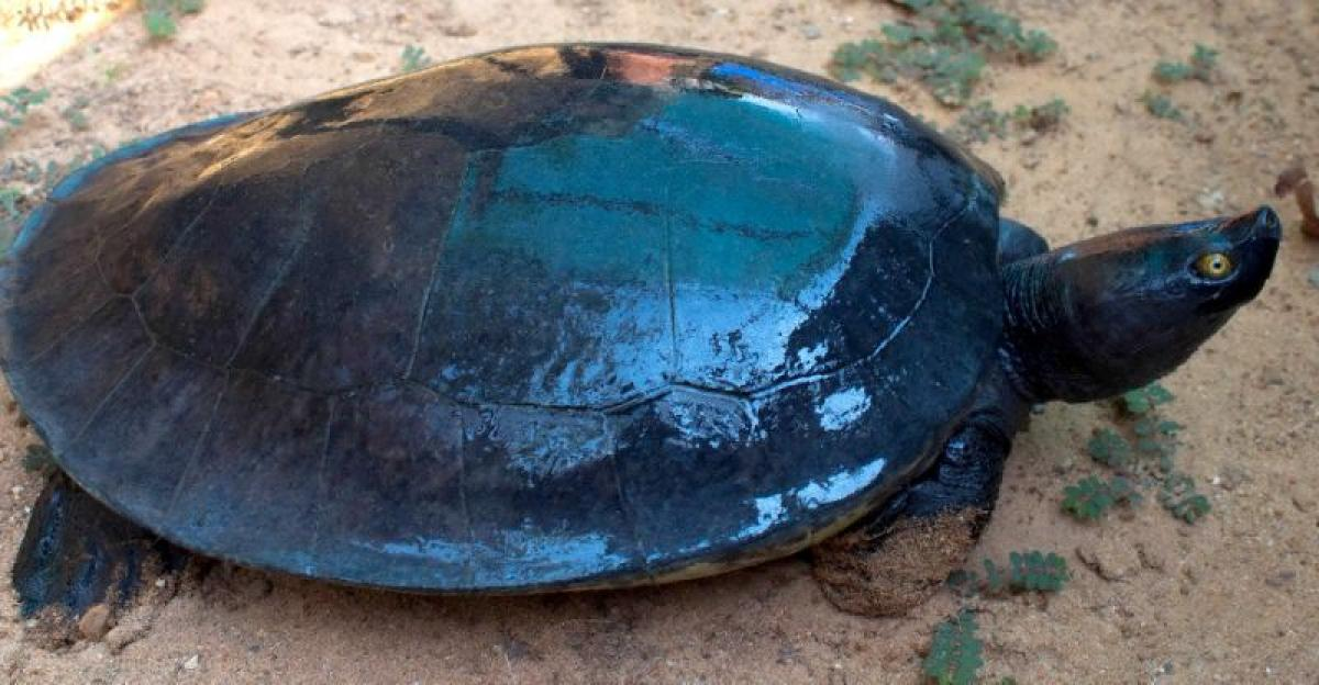 Cambodias 25 nearly-extinct Royal Turtles get new home