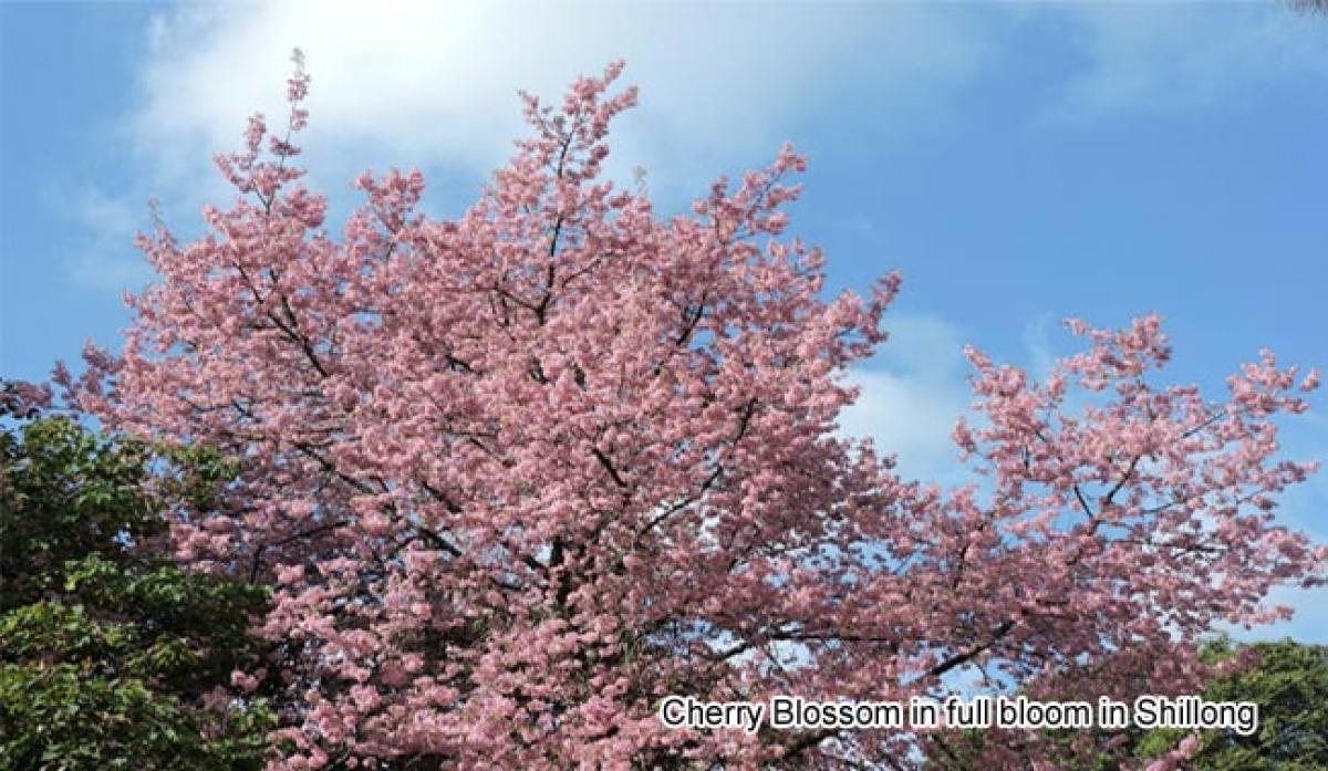 The pink glory of cherry blossom is a sight to behold in Mizoram
