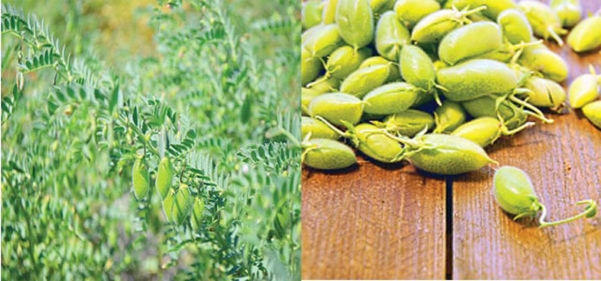 Crossing barriers to create chickpea varieties with desirable traits