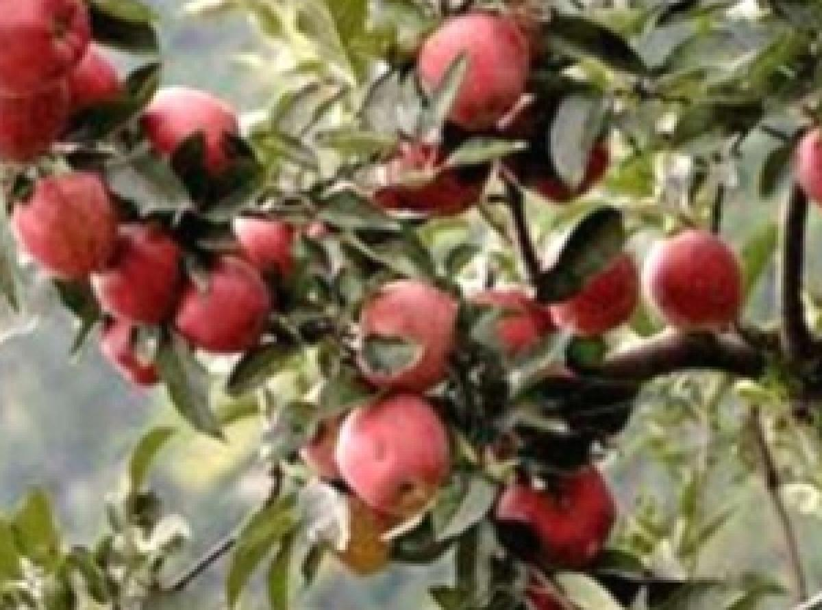 Weather shrinks size of Himachal apple