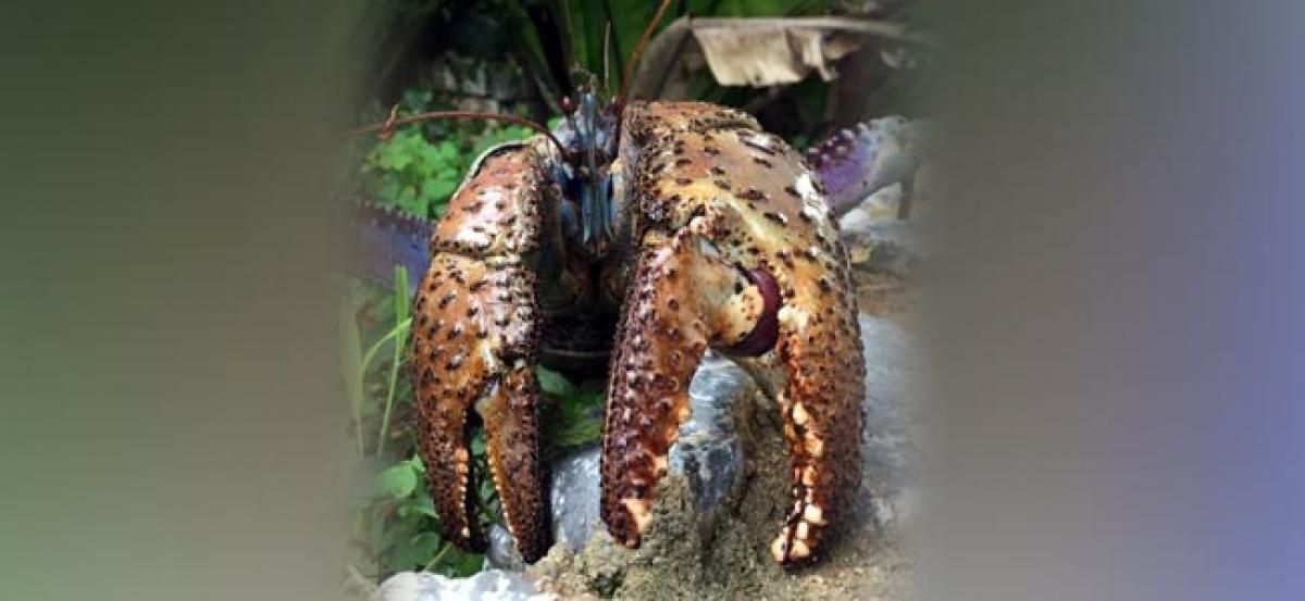 Crustacean revelation - coconut crab