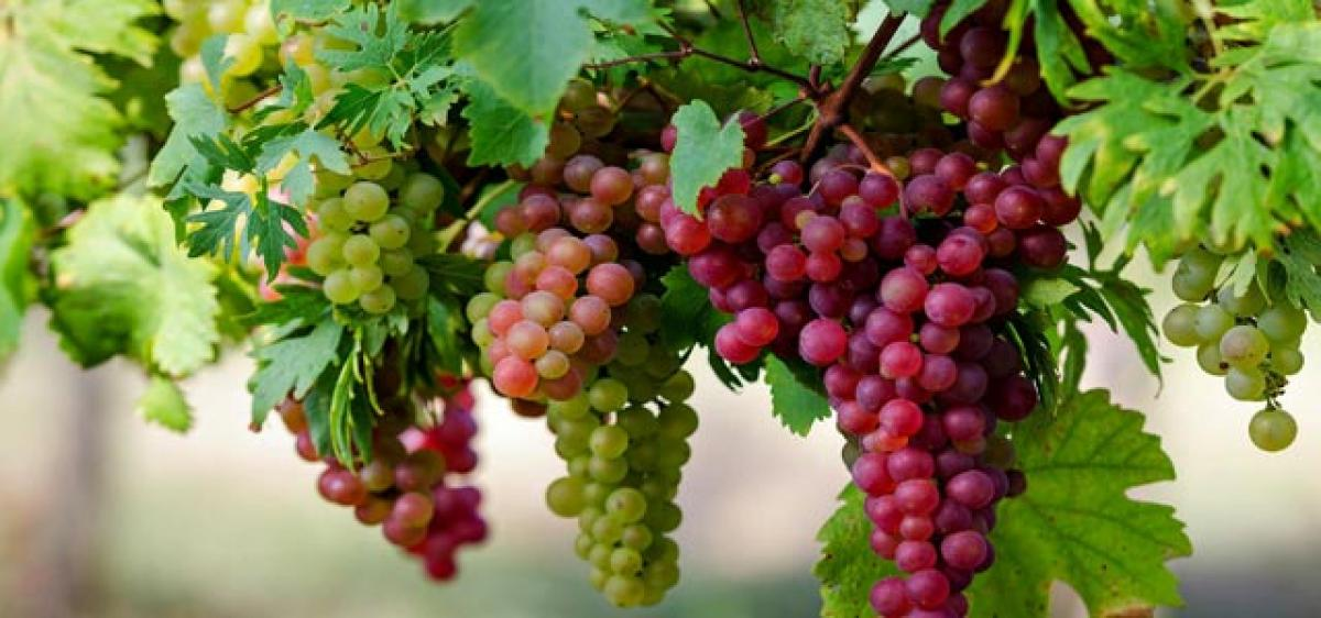 Role of grapes in preventing Alzheimers