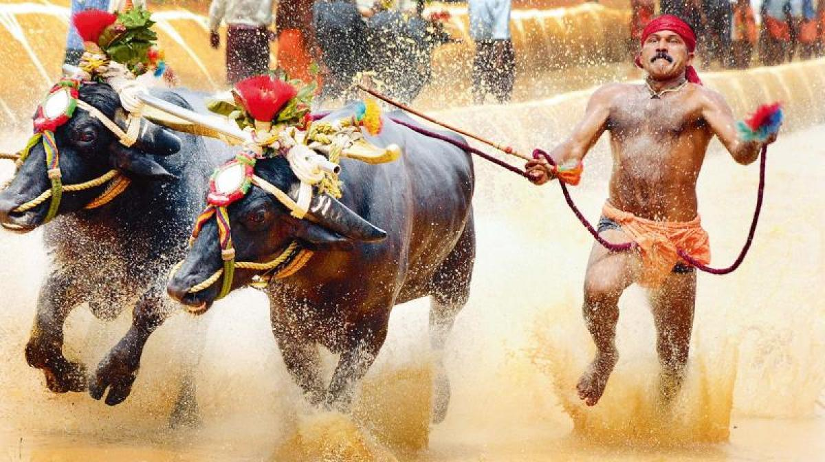 After Jallikattu in TN, Kambala now legal in Ktaka as Assembly passes bill