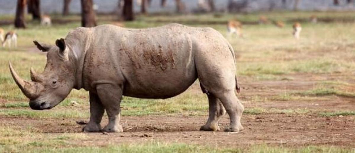 Only three white rhinos left on earth, extinction inevitable