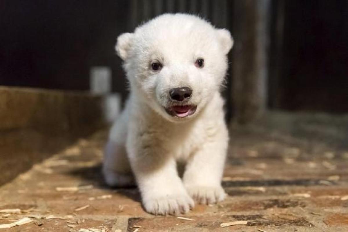 Berlins Four-Month-Old Polar Bear Cub Fritz, Dies