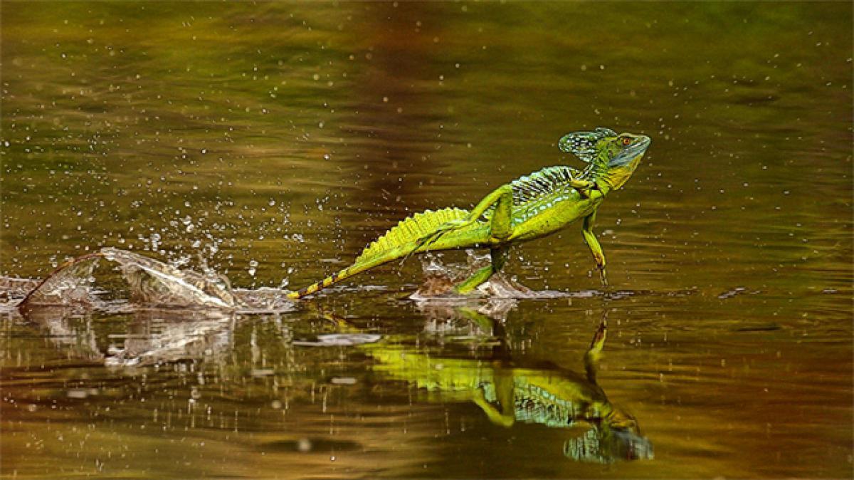 Jesus lizard walked on water 48 mn years ago