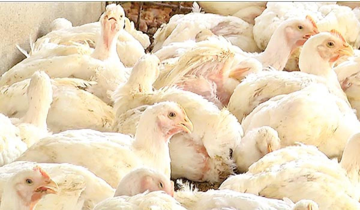 Poultry industry stares at severe crisis