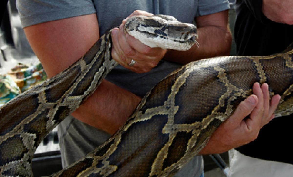Florida eyes eradication of pythons from wild to protect native animals in Everglades