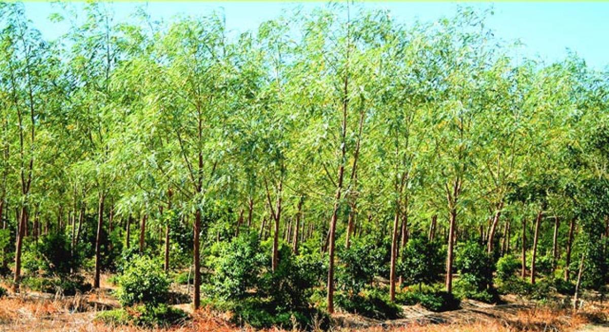 TTD to plant five lakh sandalwood plants
