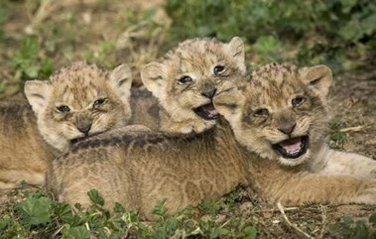 Tripura Zoo adds three lion cubsm 10 pythin snakelets to animal population