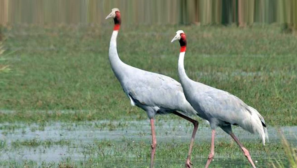 Crane population in UP rises by nearly 1,000