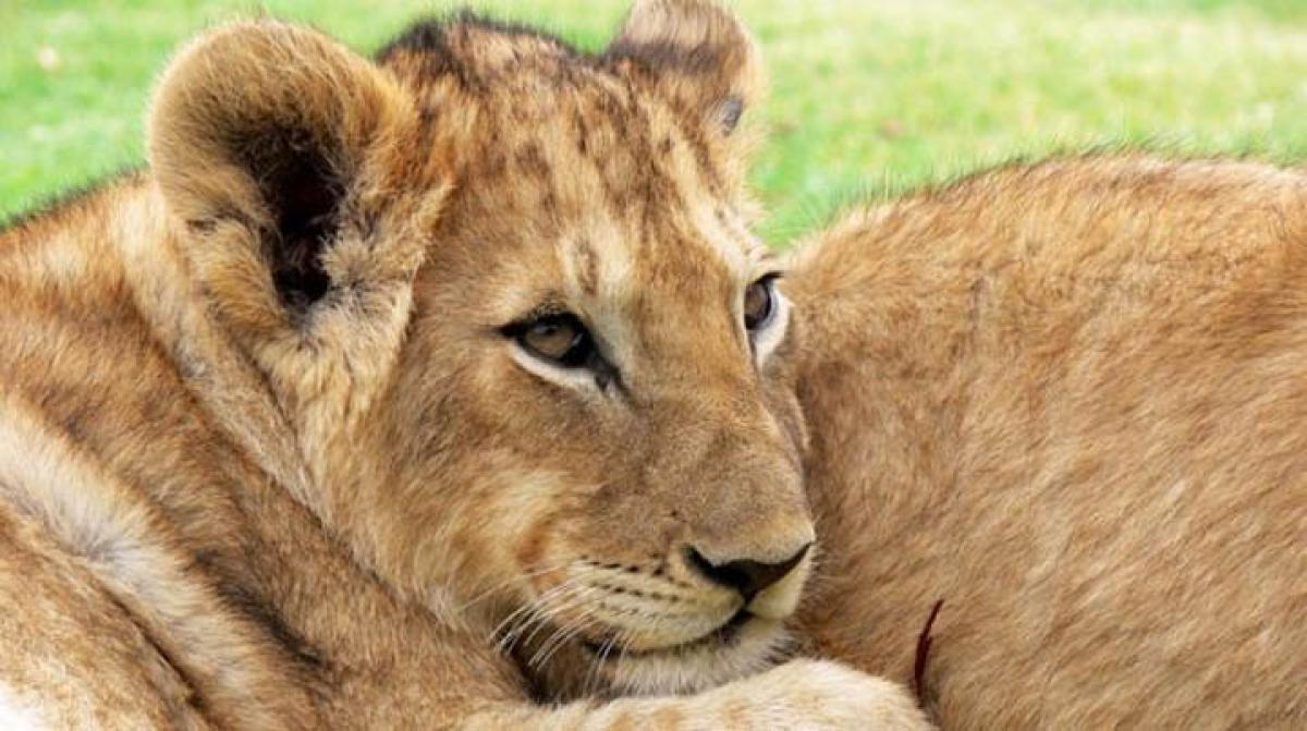 Londons safari lodge lets you sleep with a lion
