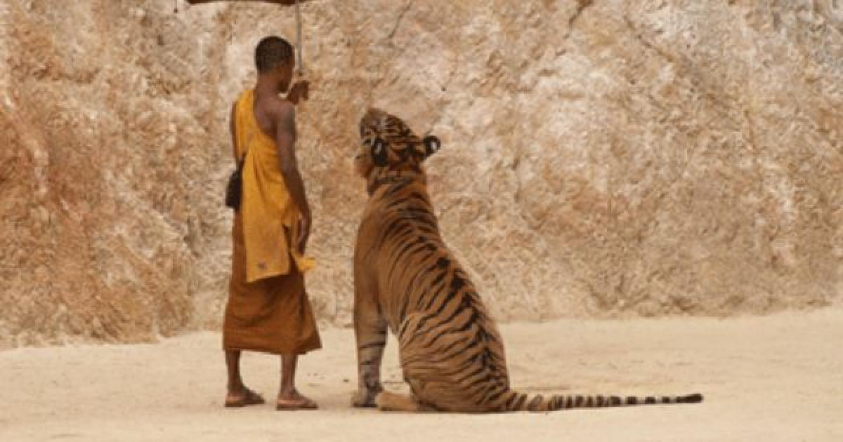 Buddhist monks at Tiger Temple ill-treated cats, alleges Thailand wildlife