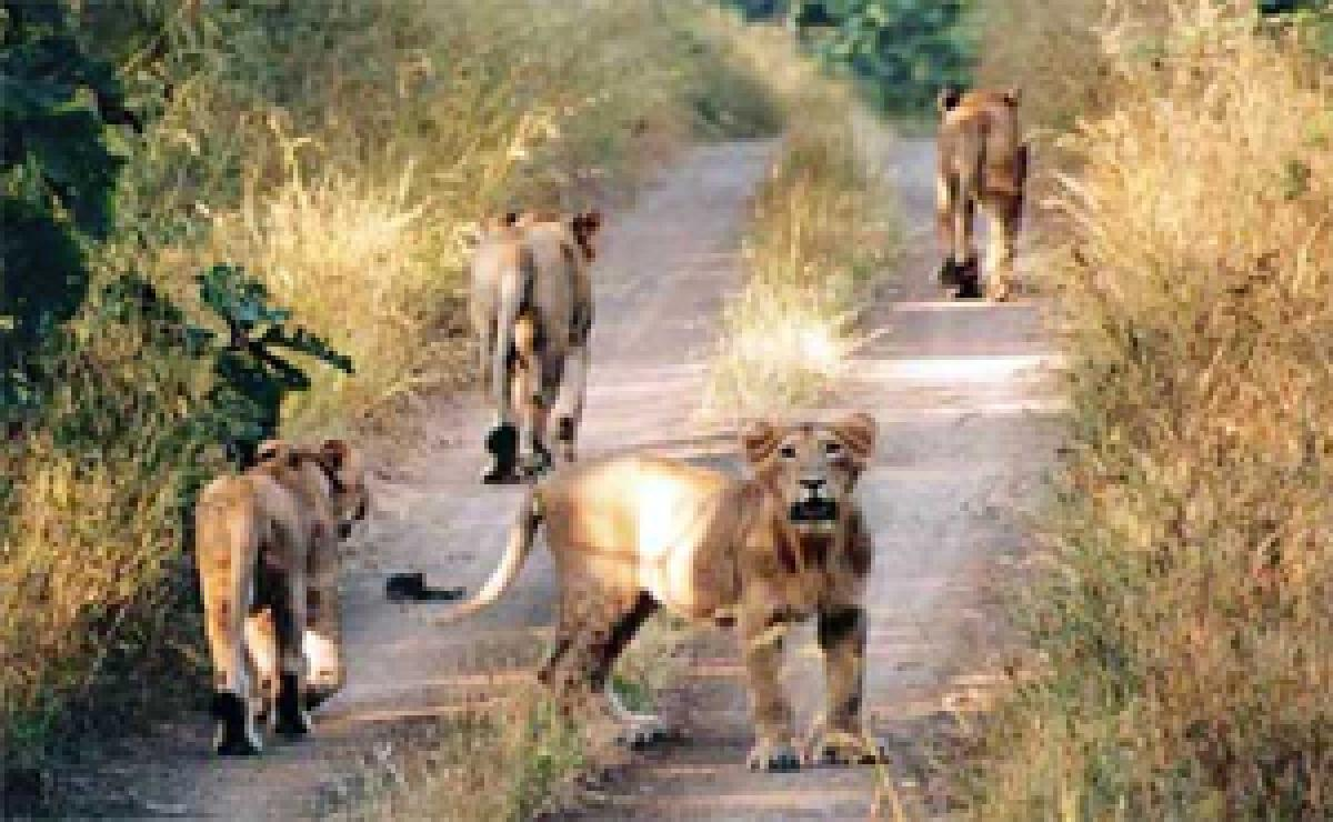 Gujarat flash floods killed 10 lions, about 90 spotted deer