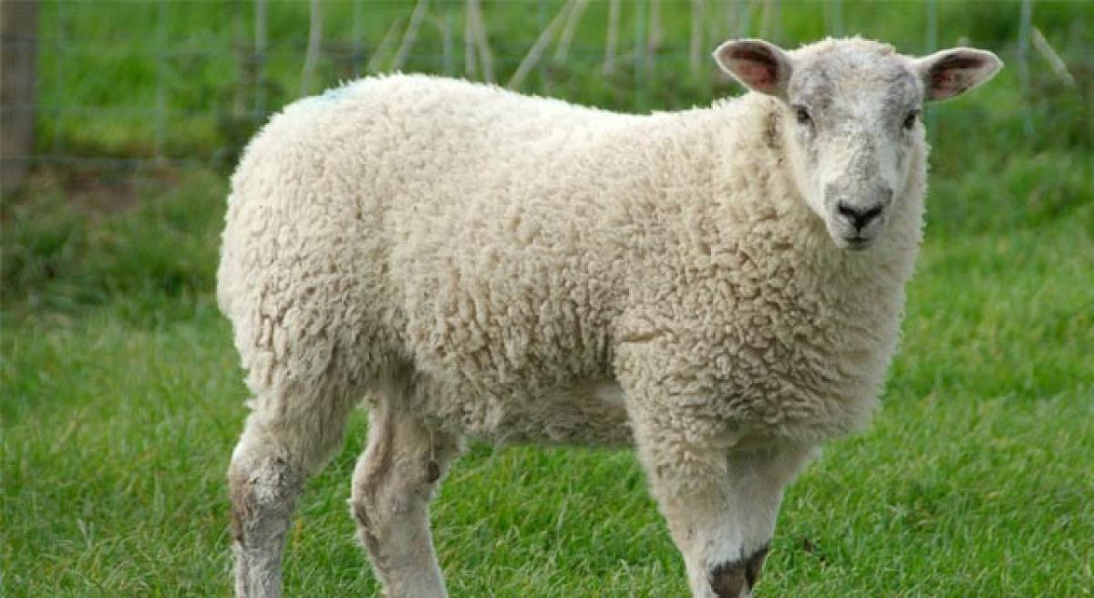 Market fare opened for sheep breeders