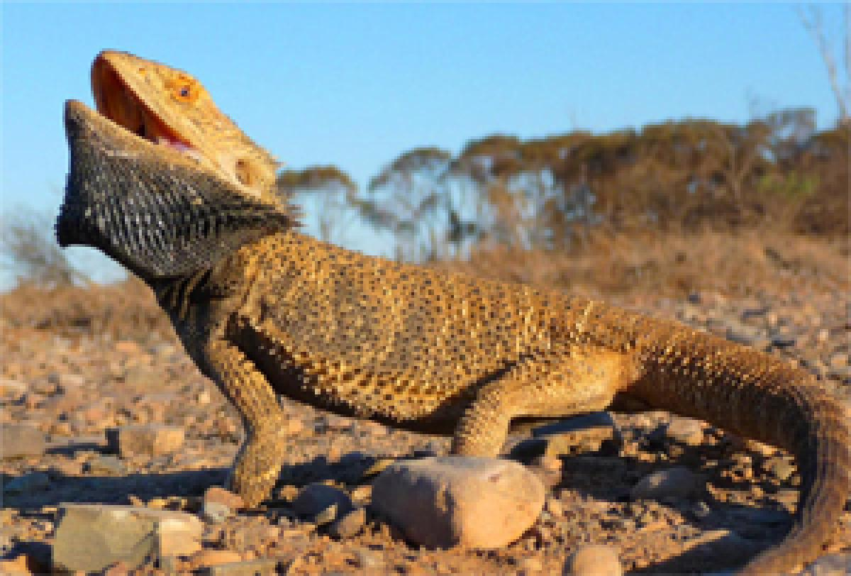 Male lizards turning into female due to climate change