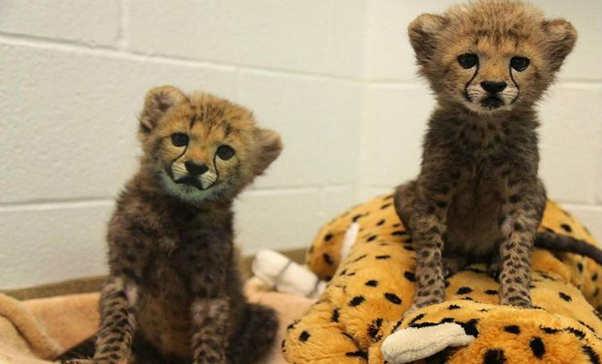 Cheetah, tiger embryos cloned from frozen skin cells