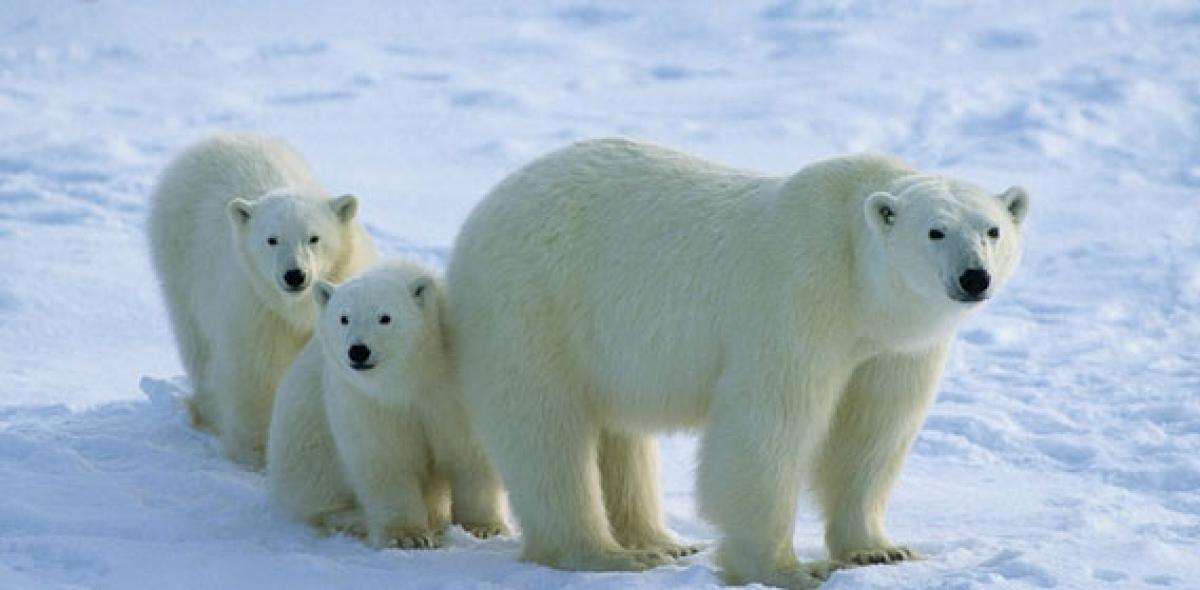 Polar bear numbers may dwindle by 30% due to climate change