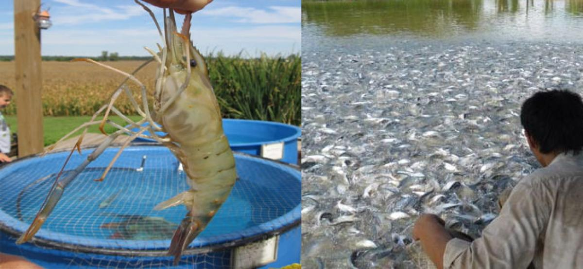 Prawn prices fall, aqua farmers worried