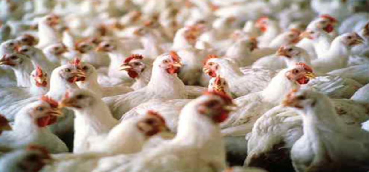 Poultry industry badly hit