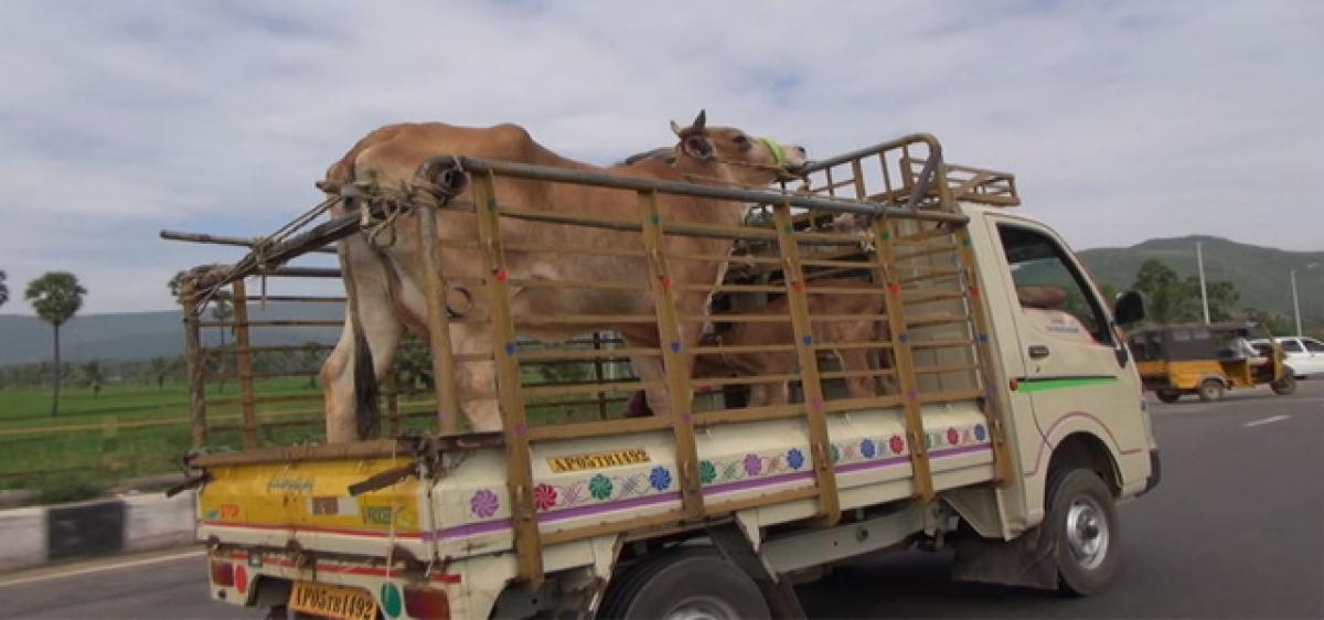 One held for illegally transporting bovines