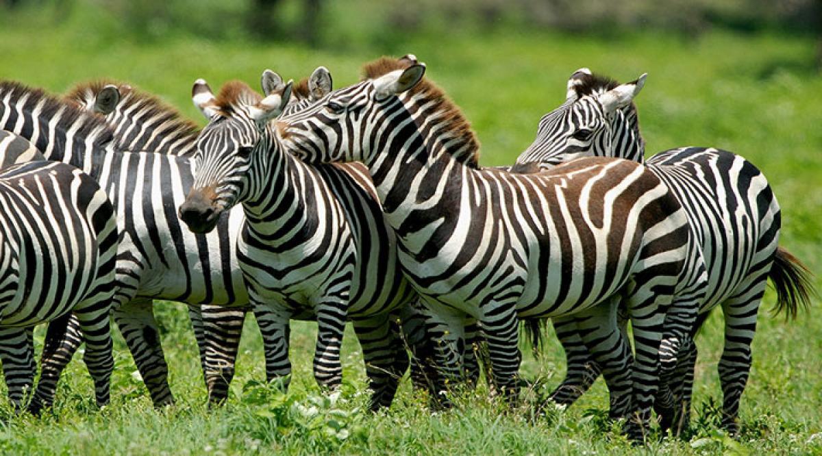Zebras dont use black and white stripes to escape predators