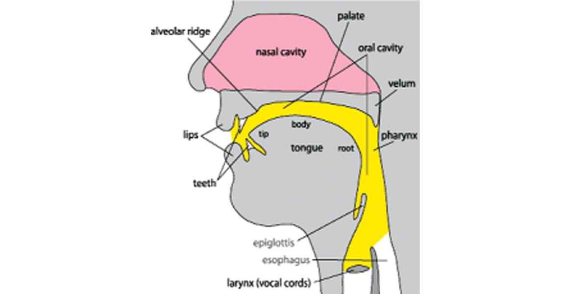Speech & the vocal tract