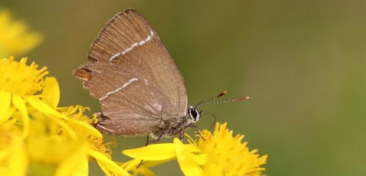 White-letter hairstreak butterfly spotted in Scotland after 133 years