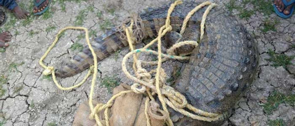 Crocodile fear come to end in Mahbubnagar